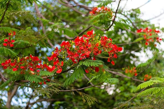 炎の木とロイヤル・ポイシナナは美しい花です Premium写真