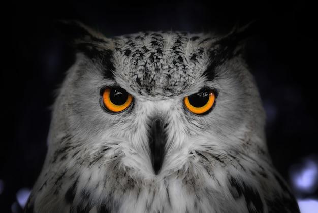 Голова выстрел крупным планом дикой совы в ночь Premium Фотографии