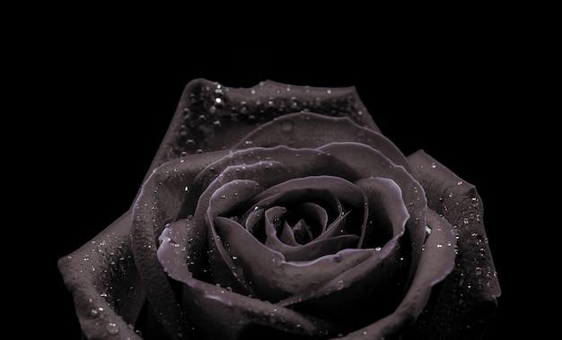 Предпосылка конца-вверх макроса красивой черной розы на черной предпосылке на день валентинки. Premium Фотографии