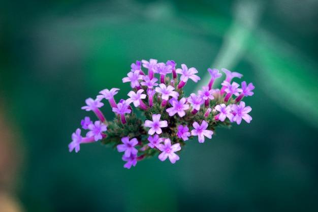 Макро крупным планом яркие маленькие фиолетовые цветы Premium Фотографии