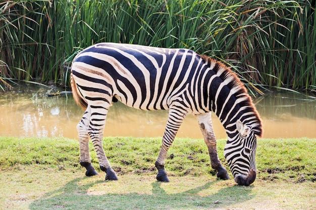 Зебра ест траву в парке зафари Premium Фотографии