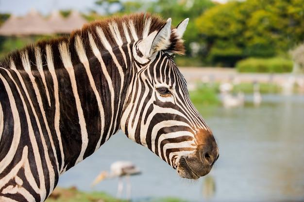 Попадание в голову зебры в парке зафари Premium Фотографии