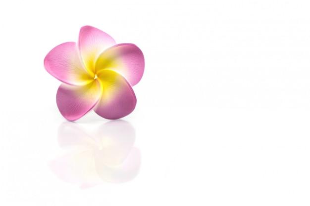 Красивый цветок плюмерия с отражением изолированы Premium Фотографии
