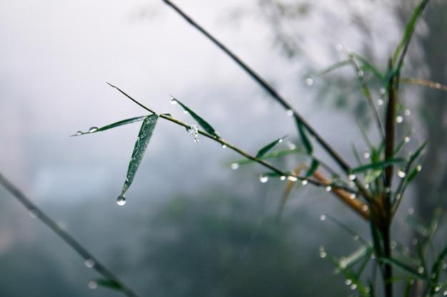 霧の中の竹と水滴 Premium写真