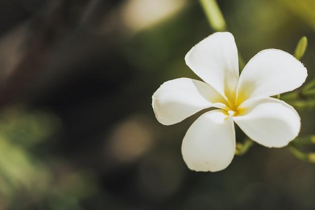 プルメリア・フラワー・ホワイト Premium写真