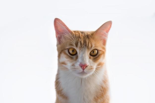 オレンジ色の猫はこのように見えます。 Premium写真