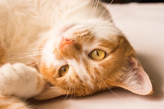 Кошка смотрит вперед и выглядит мило. Premium Фотографии