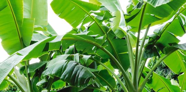 緑のバナナの葉の抽象的な背景 Premium写真