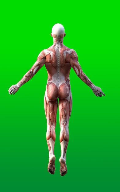 Мужские фигуры представляют собой кожу и карту мышц изолируют на зеленом фоне Premium Фотографии
