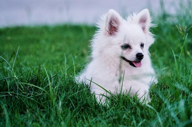 草の中に座っているかわいい小さな白い犬 Premium写真