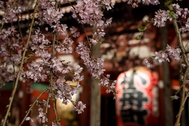 浅草の夜の浅草寺の桜 Premium写真