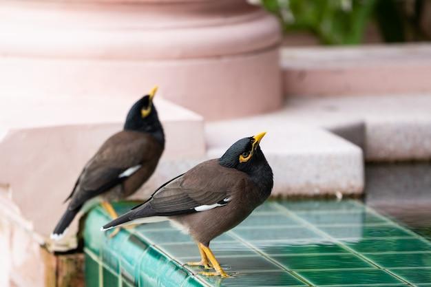 プールの近くの共通九官鳥トリスティス。 Premium写真