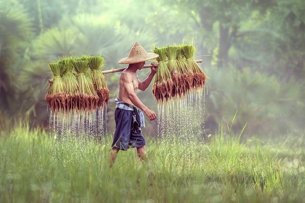 Тайский фермер на зеленых полях, держа ребенка риса, саконнахон, таиланд Premium Фотографии