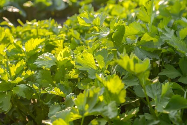 Ярко-зеленые овощи в органическом огороде без химикатов Premium Фотографии
