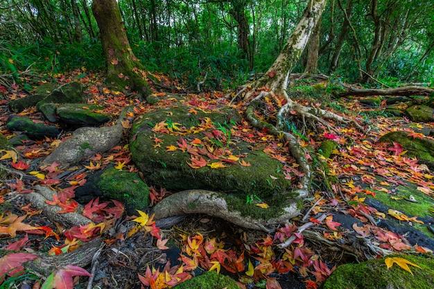カラフルなカエデの葉、タイのフールアン野生生物保護区で秋の緑の岩の上。 Premium写真