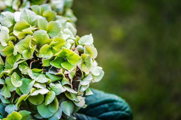 水滴で冷却された緑の花のアジサイ。 Premium写真