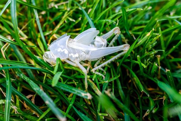 バッタのような昆虫は、新しい外骨格で夏に皮膚を落とします。 Premium写真