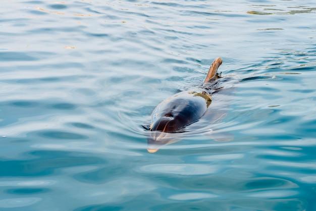 Дельфин на поверхности, чтобы дышать, приближается к побережью, чтобы приветствовать туристов. Premium Фотографии