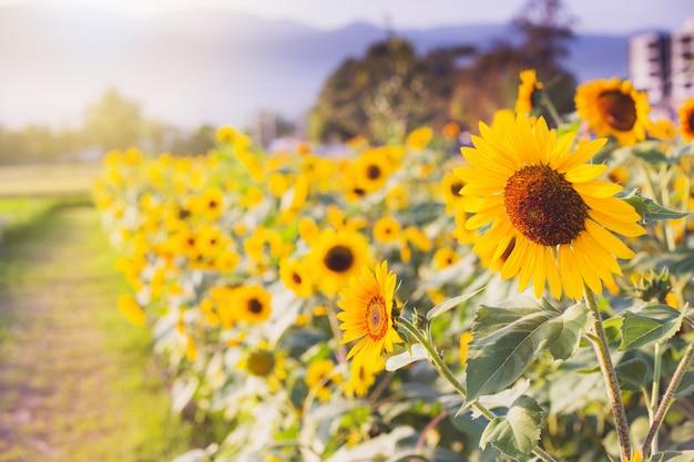 Желтые подсолнухи на фоне летнего неба Premium Фотографии