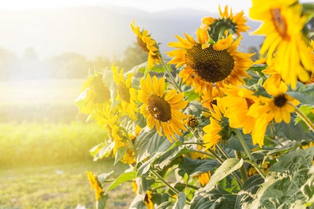夏の空の背景に黄色のヒマワリ Premium写真