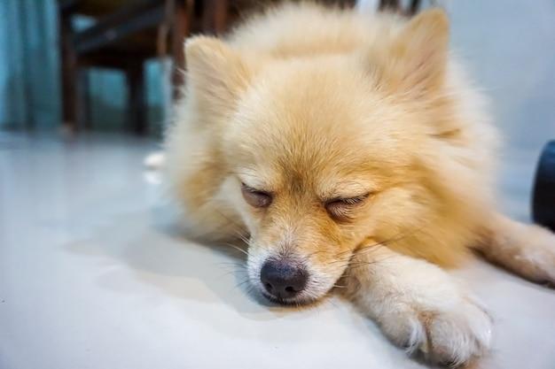 Собака спит и отдыхает в комнате, собака спит и мечтает Premium Фотографии