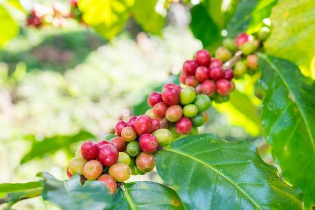 Кофе в зернах арабика спелый на дереве Premium Фотографии