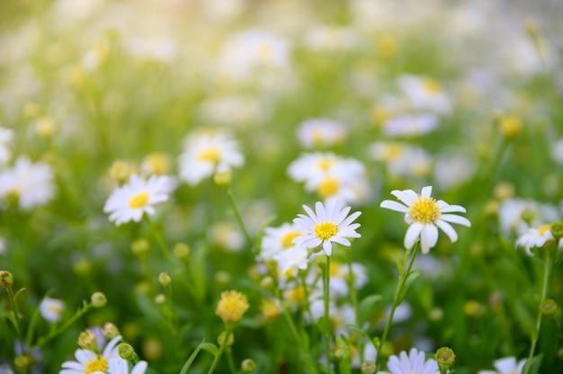 デイジーの花やカモミールの黄色い花粉の花 Premium写真