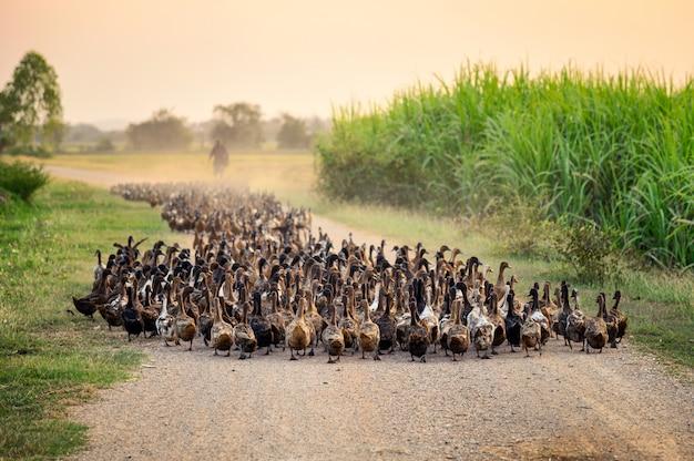 未舗装の道路上の農業専門家の放牧とアヒルの群れ Premium写真