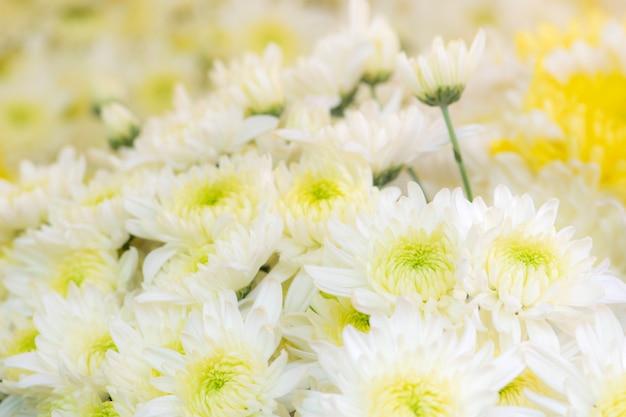 美しい白い菊の花の背景 Premium写真
