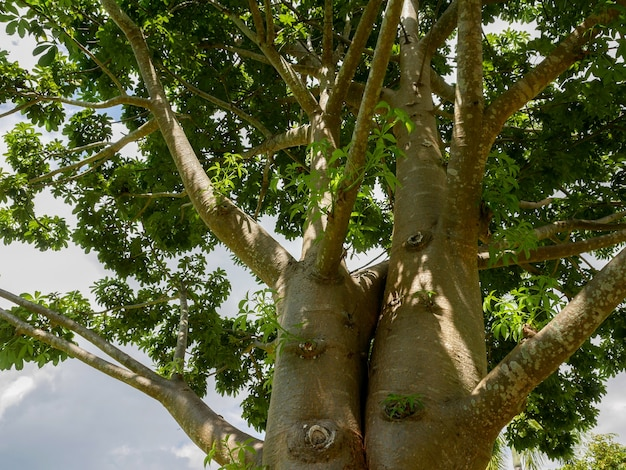 バオバブの木の枝 Premium写真