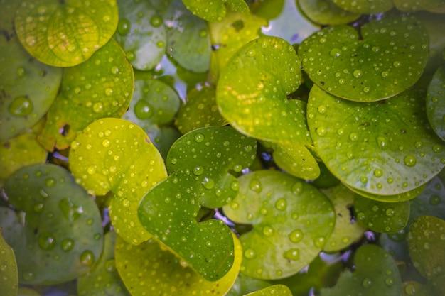 背景の使用のための水滴を持つ淡水植物 Premium写真