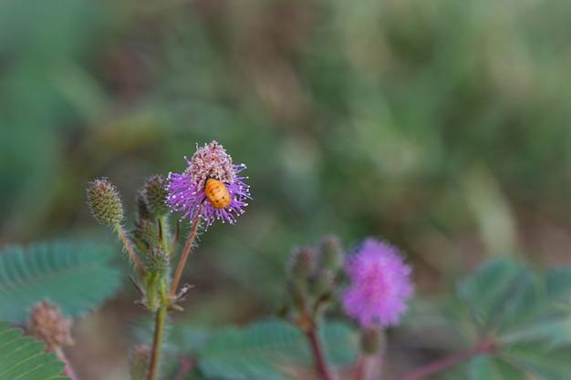 敏感な植物の花、小さなミツバチとミモザプディカへのクローズアップ Premium写真