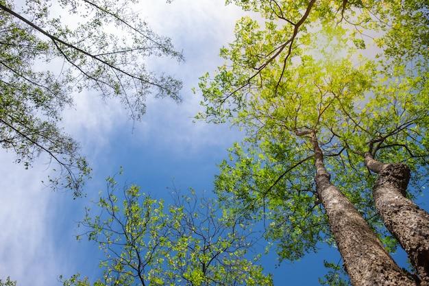 Поднимите угол красивого свежего зеленого дерева с голубым небом. образ Premium Фотографии