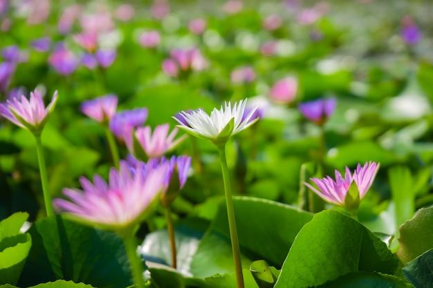 淡いピンクと白の睡蓮や蓮の花の池の水面に黄色い花粉。 Premium写真