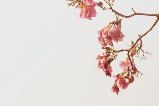 白で隔離される木の枝に美しいピンクの春の花 Premium写真