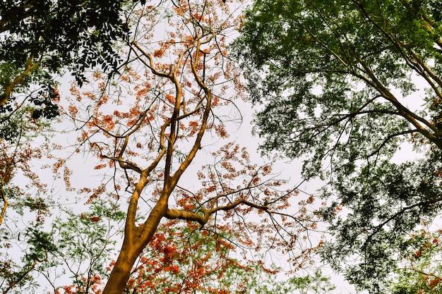 炎の木他の緑の木々の中で赤い花 Premium写真