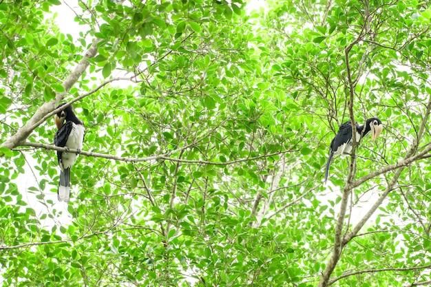 完全な森の中でいつか私たちは生きている黒いサイチョウを見つけるでしょう Premium写真