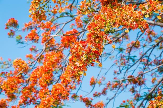 ロイヤル・ポイシアナの木 Premium写真