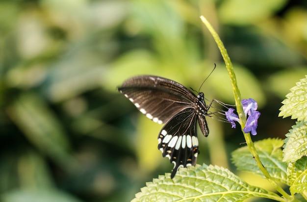 庭の黒い蝶と紫の花。 Premium写真
