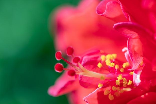 赤い花粉のハイビスカスの花を閉じます。庭で選択的なフォーカス赤いハイビスカスの花が咲きます。 Premium写真