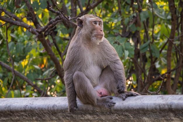 Одинокая обезьяна сидит на обочине дороги на фоне природы. Premium Фотографии