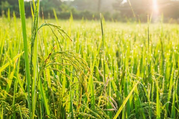Крупный план рисовых растений: созревание урожая в ожидании урожая Premium Фотографии