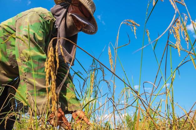 農家は米を収穫しています。 Premium写真