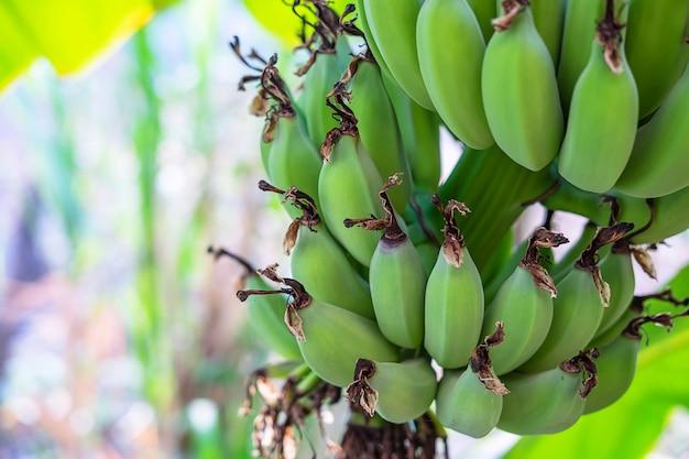 Сырые зеленые бананы из банановых деревьев Premium Фотографии