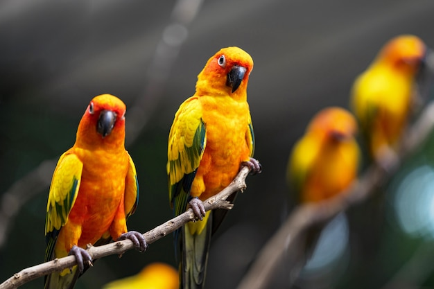 美しいカラフルな太陽コニュアオウム鳥 Premium写真