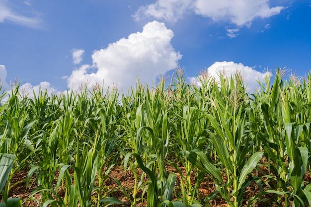青い空の下のトウモロコシ畑 Premium写真