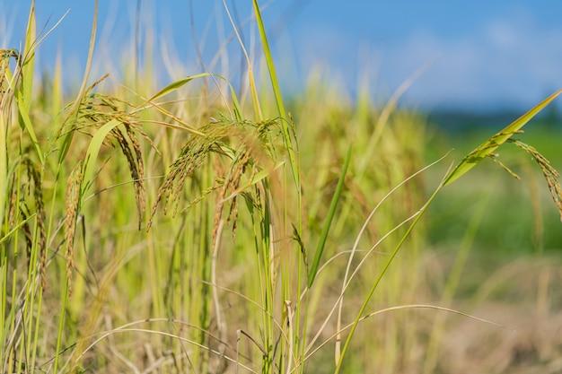 青空の下で朝の田んぼ Premium写真