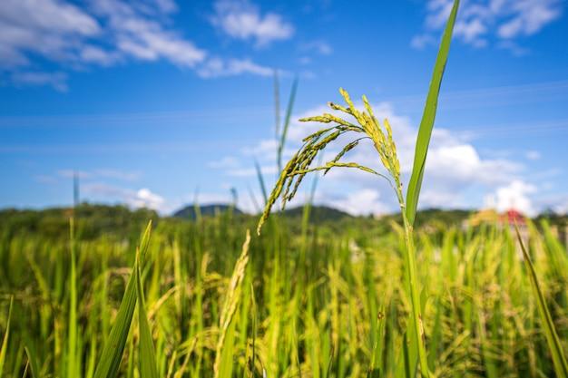 新鮮な水田、緑豊かな緑の美しい背景を閉じる Premium写真