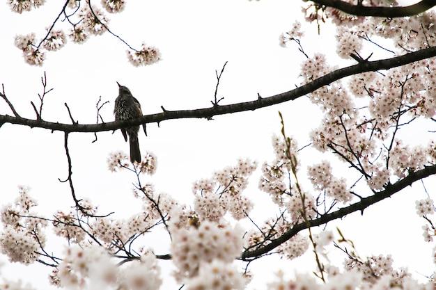 美しい桜。日本の桜の花。春の時間を旅行します。 Premium写真