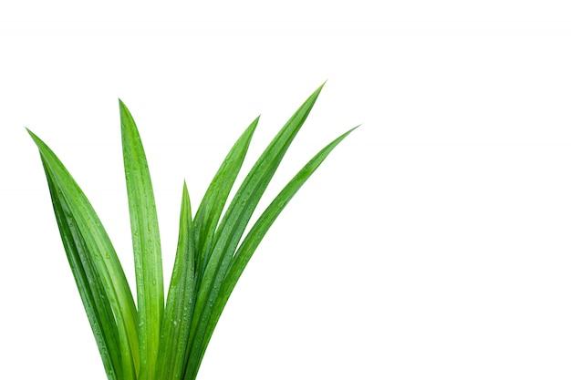 分離された水滴と新鮮な緑のパンダンの葉 Premium写真